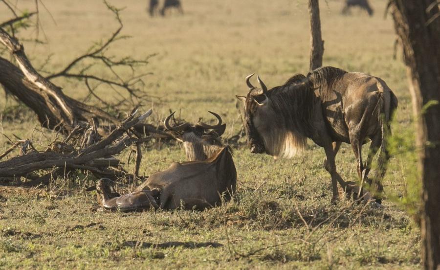 Geburt eines Gnus in der Serengeti Tansania