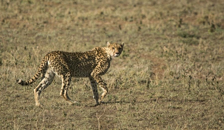Gepard in der Serengeti Tansania