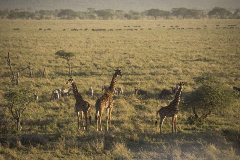 Giraffen in der Serengeti Tansania