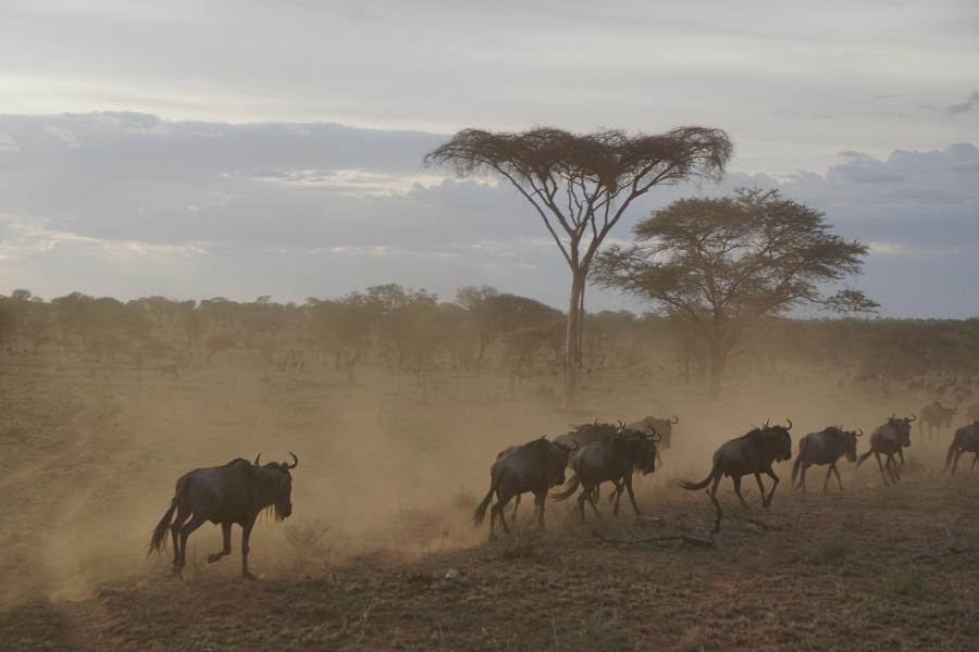 Gnus am Abend in der Serengeti Tansania