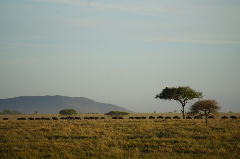 Gnus am Horizont der Serengeti Tansania
