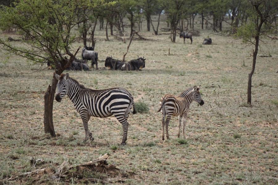 Zebras in der Serengeti Tansania
