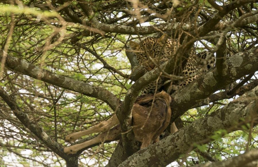 Leopard mit Beute im Baum in der Serengeti in Tansania