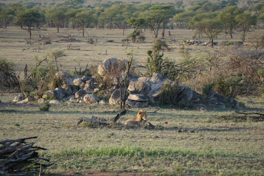 Loewe in der Serengeti Tansania