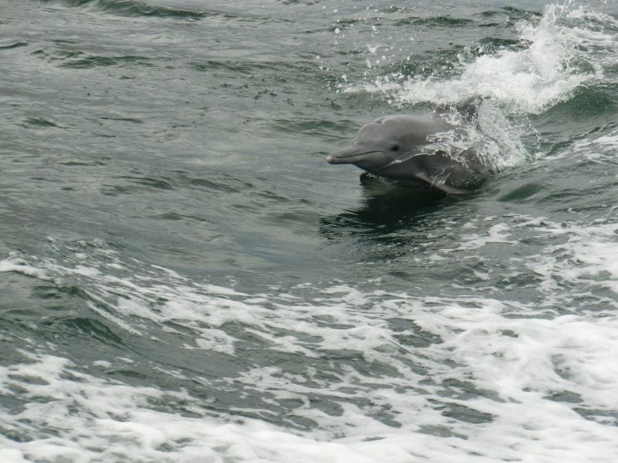 Delfin in den Fjorden Musandams im Oman
