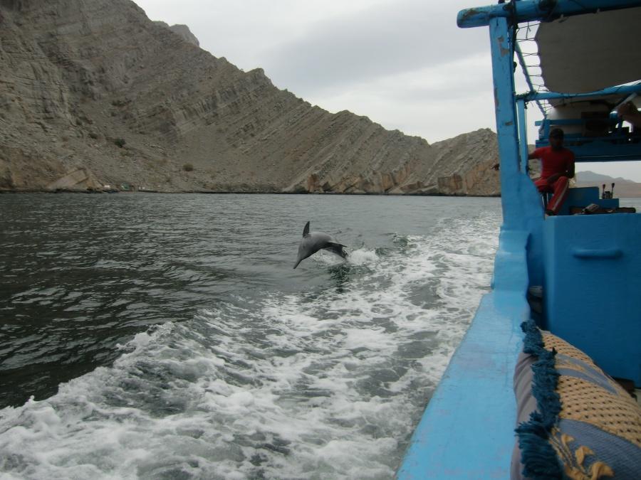 Delfine begleiten unser Boot in den Fjorden von Musandam im Oman