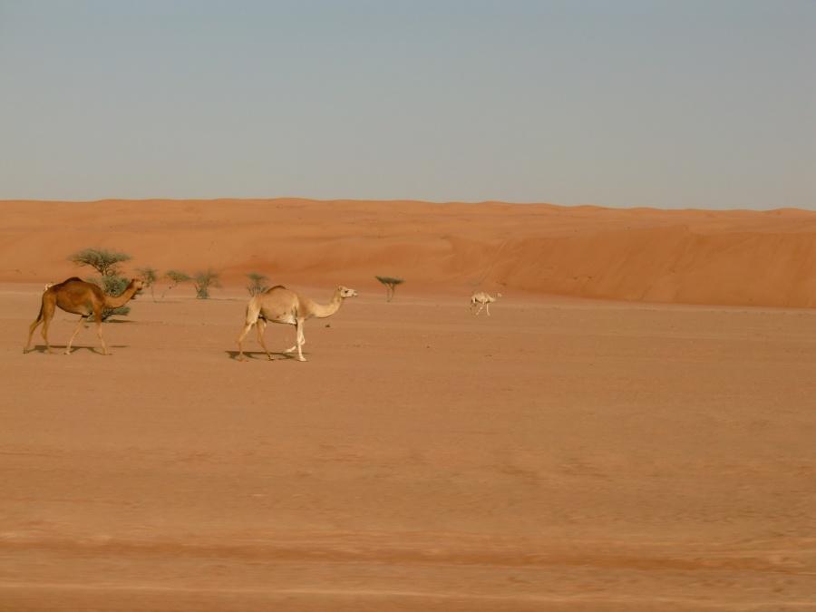 Kamele in der Wahiba Sands im Oman