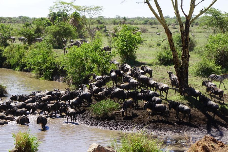Die große Migration in der Serengeti in Tansania