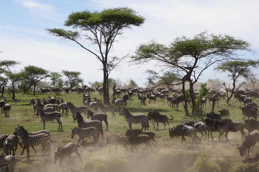 Great Migration in the Serengeti in Tanzania