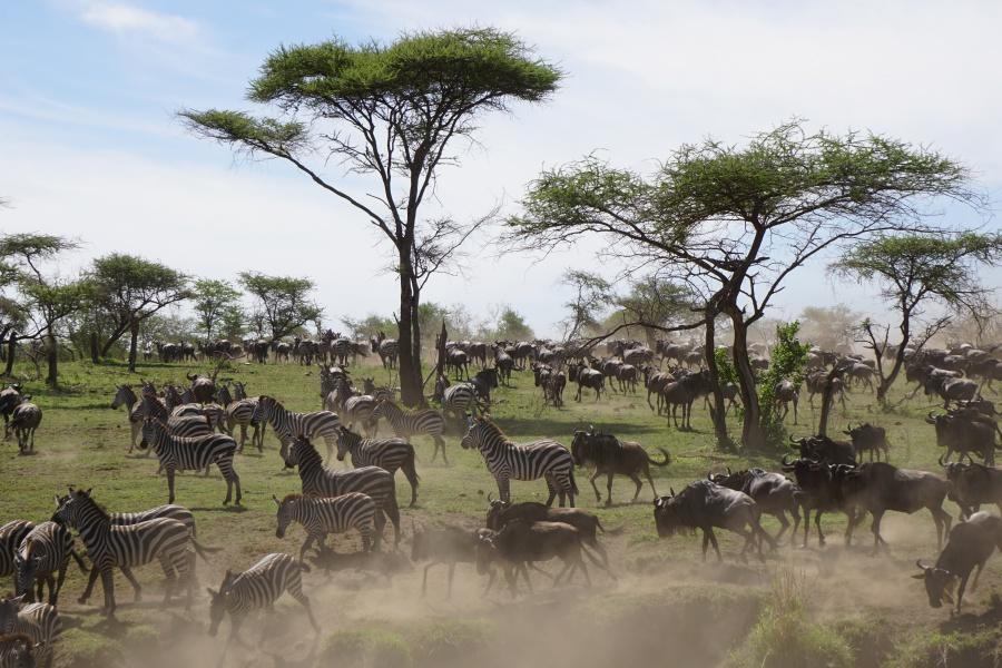 Great Migration in the Serengeti in Tanzania