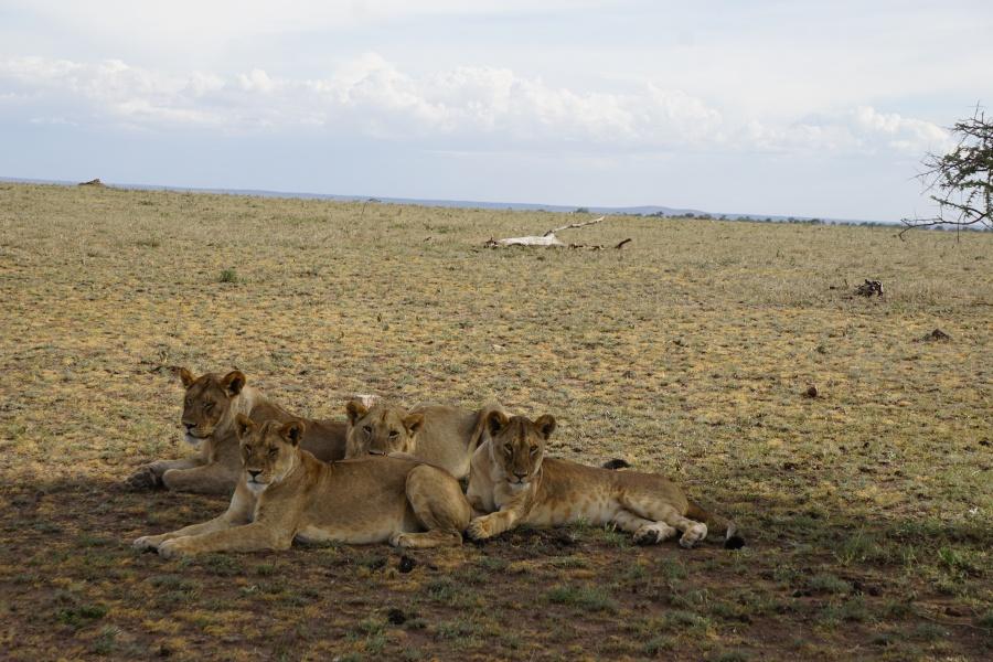 Loewen im einsamen Norden der Serengeti in Tansania
