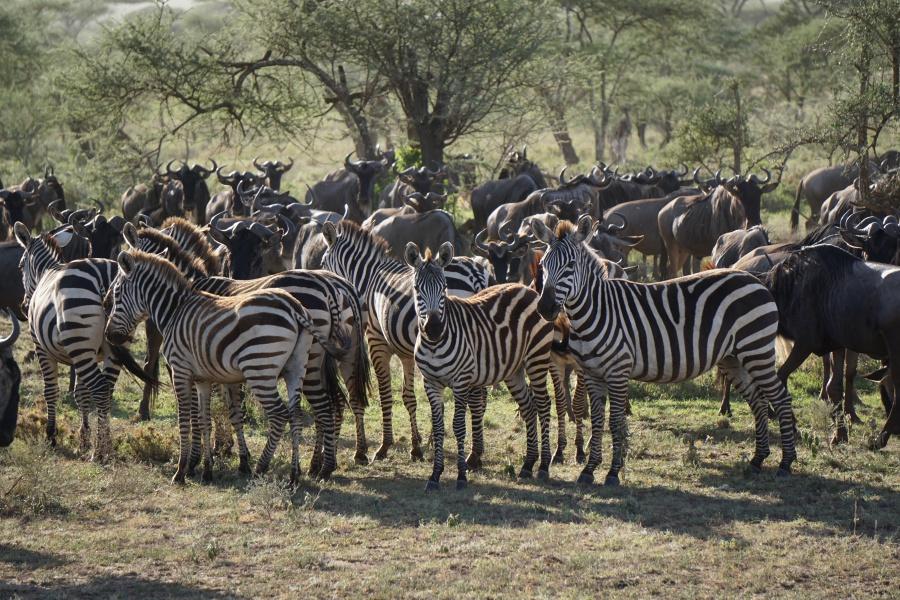 Zebras und Gnus auf der Wanderung - die große Migration in der Serengeti in Tansania