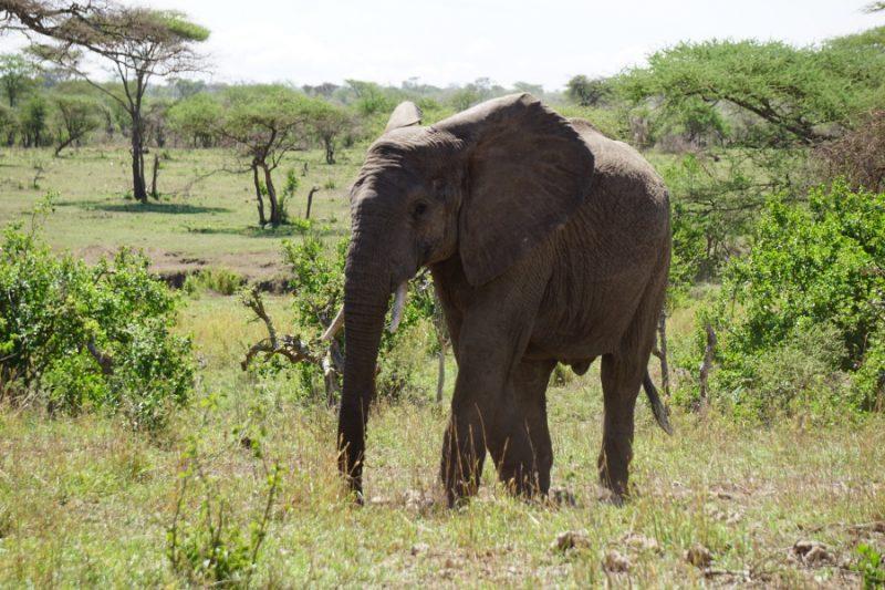 Elefant in der Serengeti in Tansania