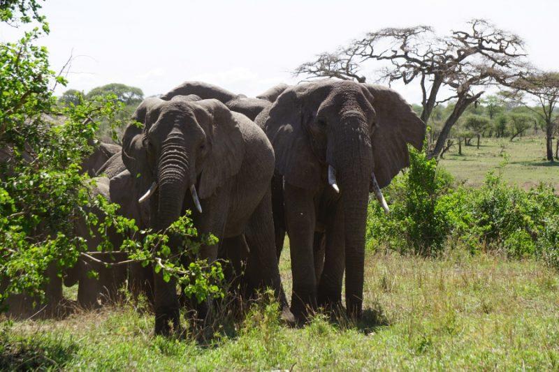 Elefanten in der Serengeti in Tansania