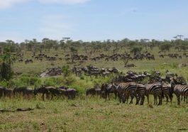 Die Great Migration in der Serengeti. Auf der Suche nach frischem Gras