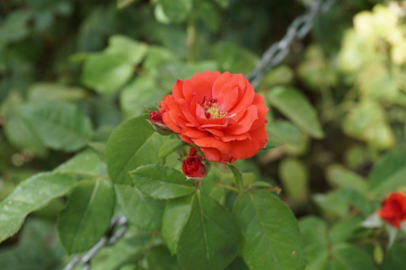 Eine Rose in Ketten - ein Synonym fuer die Menschen im Iran