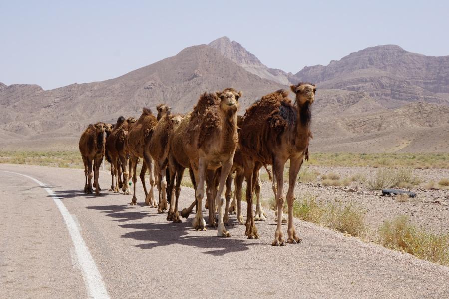 Kamel in der Wueste Dasht-e Kavir