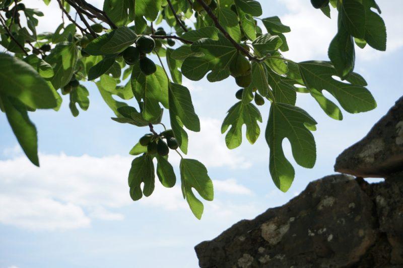 Feigenbaum im Chianti in der Toskana