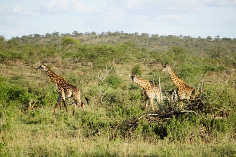 Giraffen in der Serengeti in Tansania