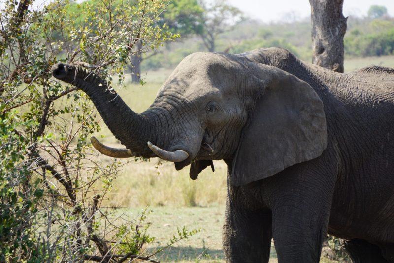 Elefant beim Fressen