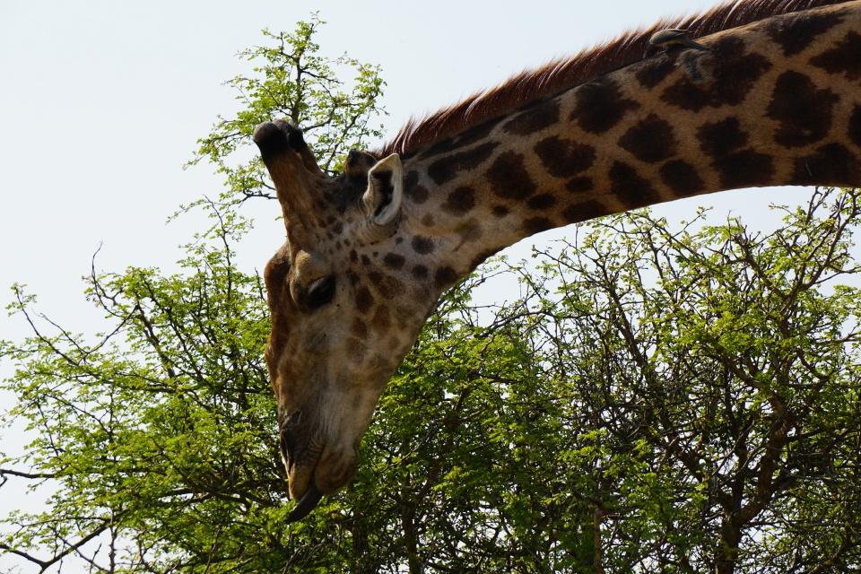 Giraffe im Kruger Nationalpark Suedafrika