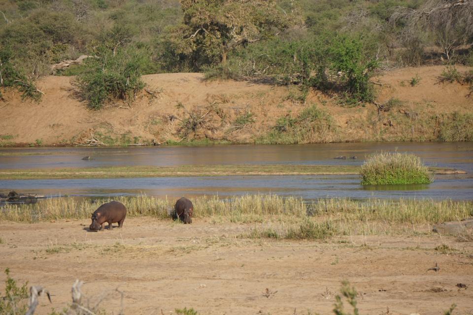 Nilpferde am Flussufer