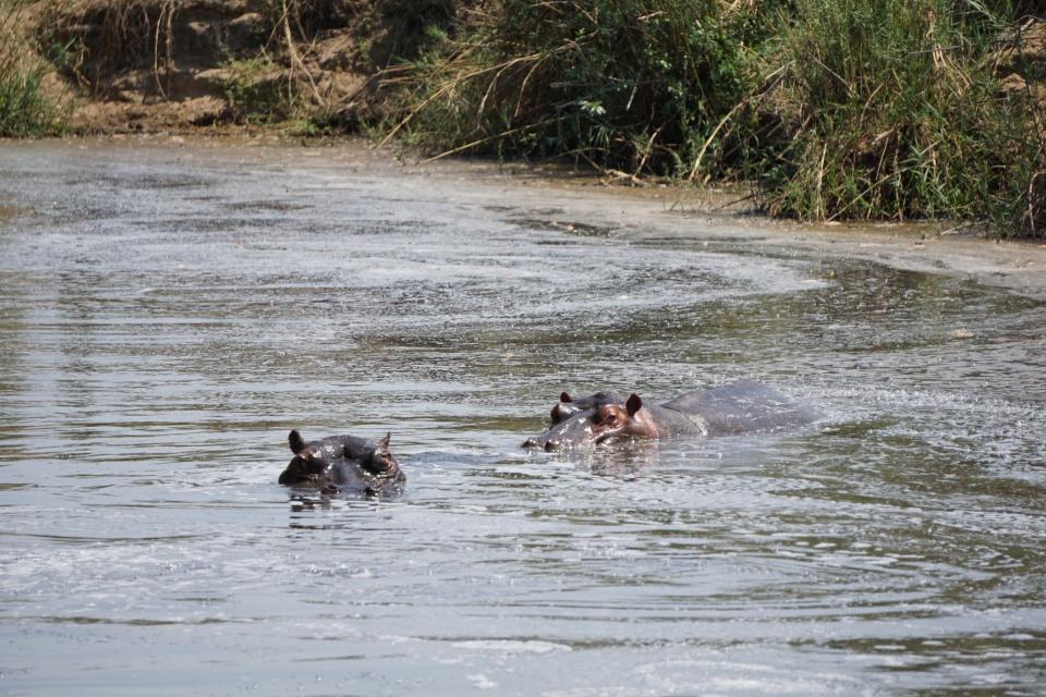 Nilpferde im Kruger Nationalpark