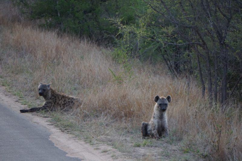 Hyänen am Morgen im Kruger Nationalpark
