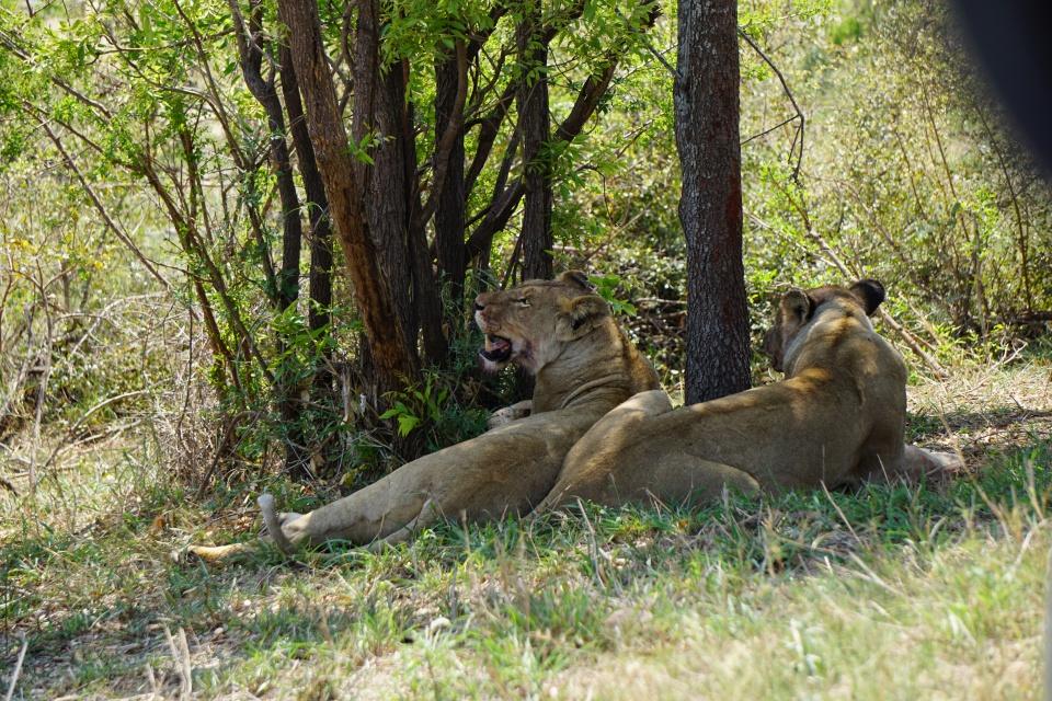 Zwei Loewinnen erholen sich vom Jagen im Kruger Nationalpark