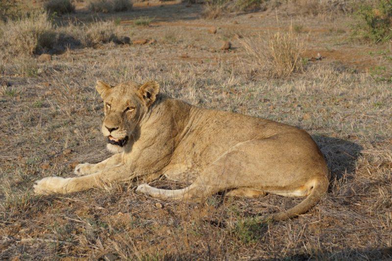 Loewendame im Kruger Nationalpark