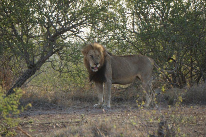 Loewe im Kruger Nationalpark