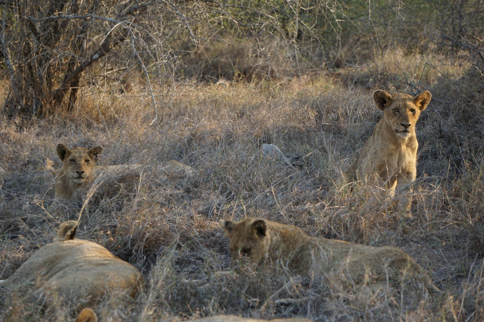 Ein Loewenrudel im Kruger Nationalpark