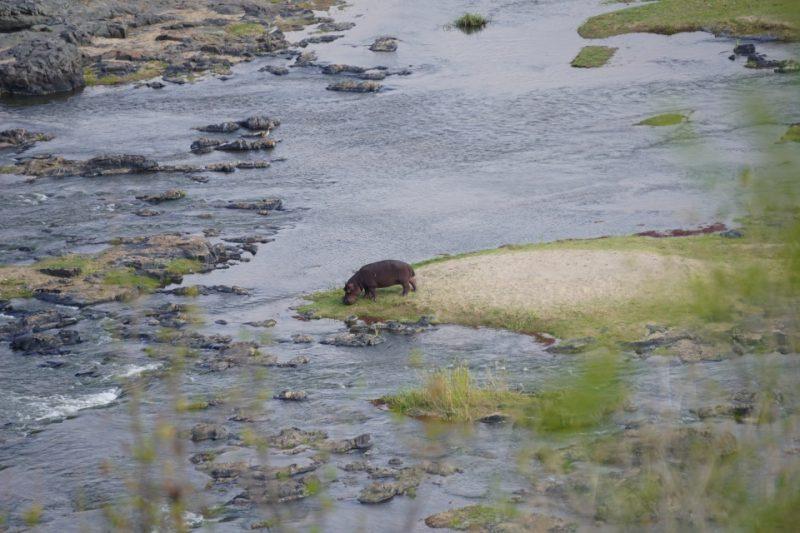 Nilpferd am Olifants Fluss im Kruger Nationalpark
