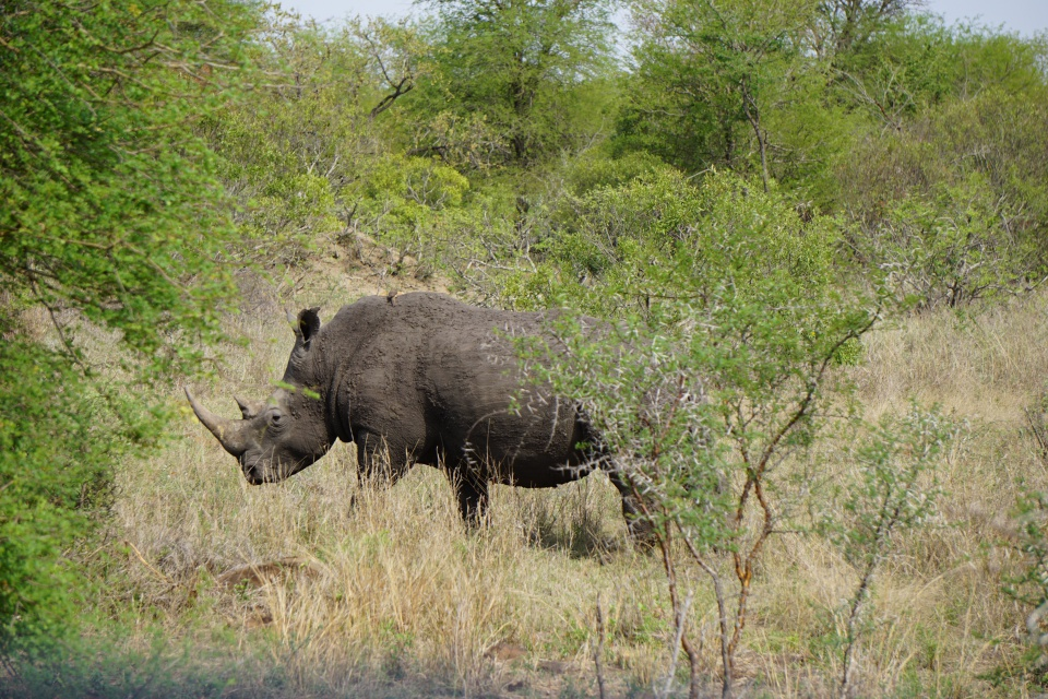 Nashorn im Kruger Nationalpark