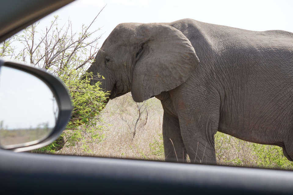 Elefant im Kruger Nationalpark Suedafrika