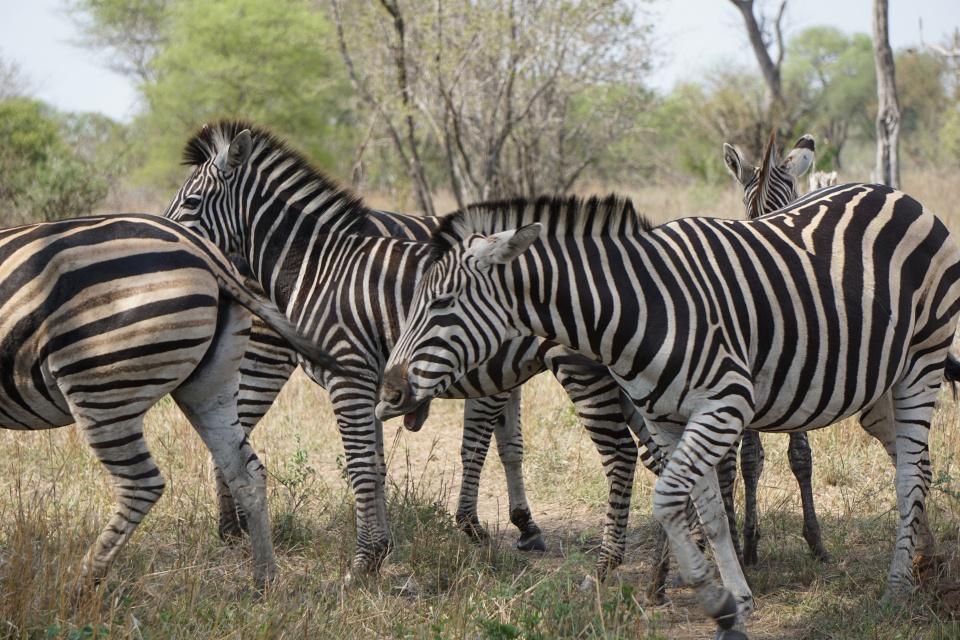 Zebras im Kruger Nationalpark