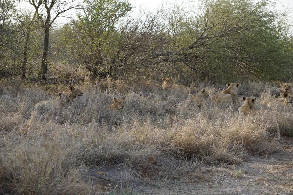 Loewenrudel im Kruger Nationalpark