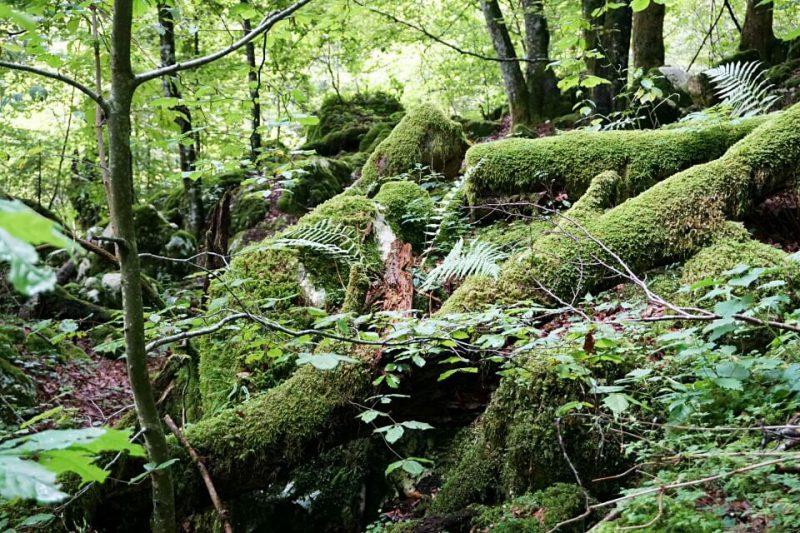 Moosbedeckter Wald beim Sunikov Vodni Gaj im Soca Tal Slowenien