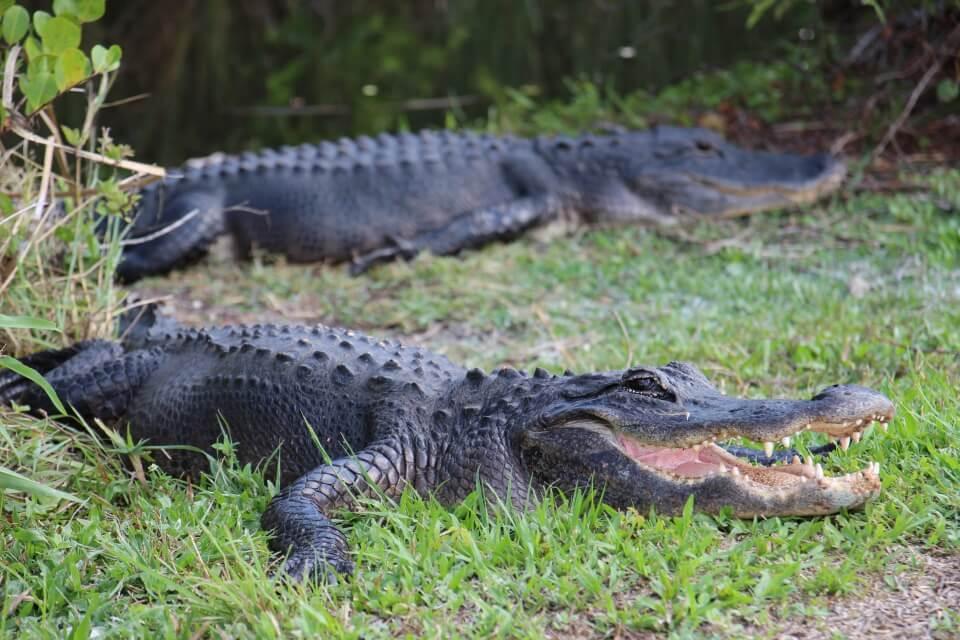 Alligatoren in den Everglades in Florida USA