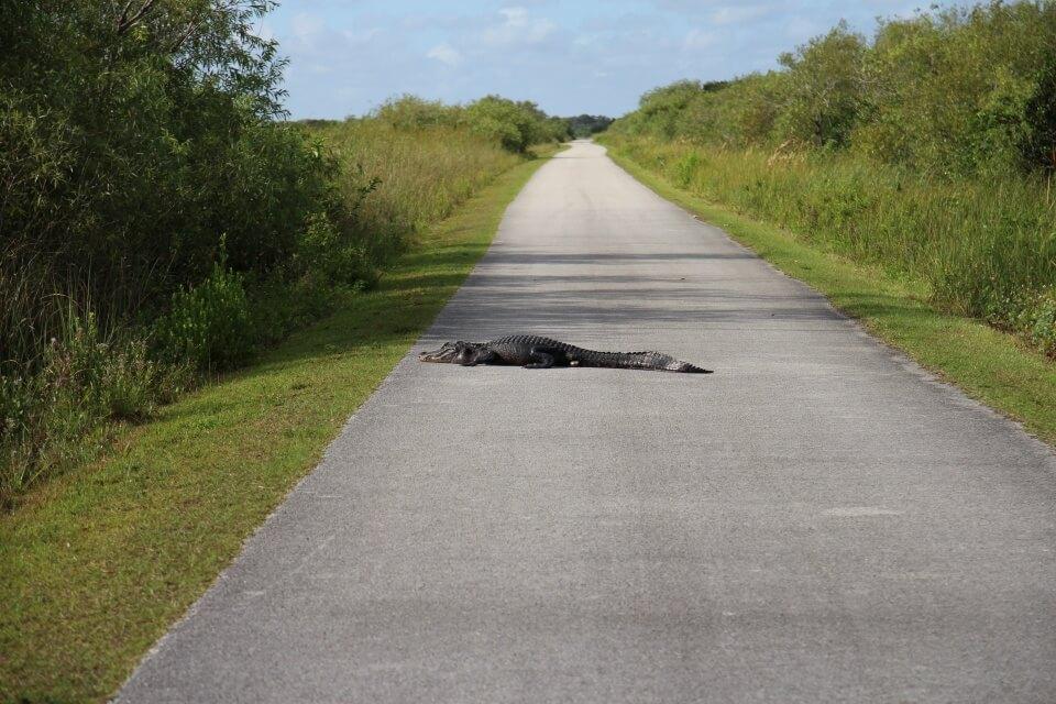 Wir mussten uns die Straße am Morgen nur mit den Alligatoren teilen