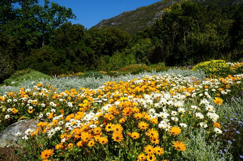 Blumen im Kirstenbosch Botanical Garden in Kapstadt