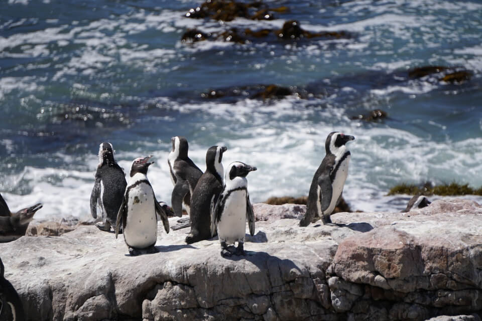 Pinguine in Betty´s Bay an der Garden Route in Suedafrika