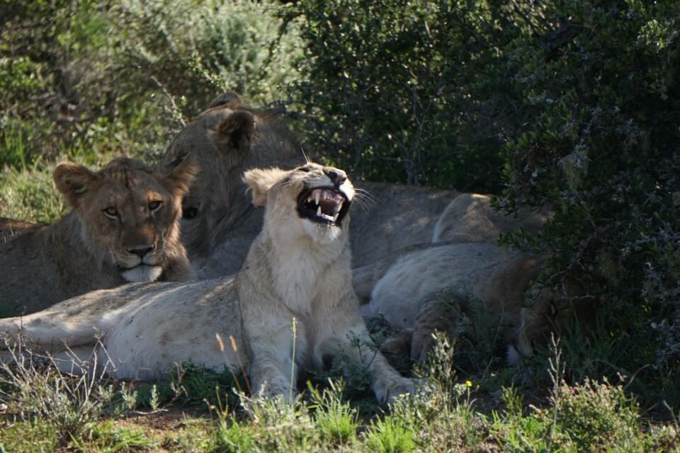 Loewen auf Safari in Suedafrika im Kwandwe Private Game Reserve