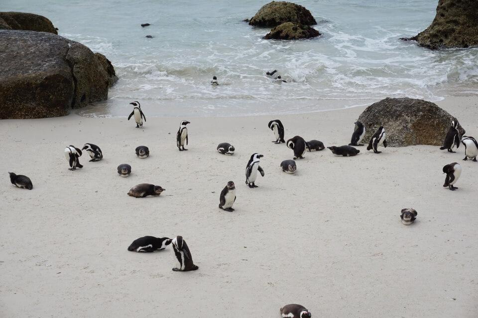 Pinguine am Boulders Beach bei Simons Town auf dem Weg zum Kap der Guten Hoffnung