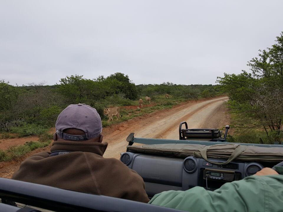 Loewen im Kwandwe Private Game Reserve in Suedafrika - Reiseblog Road Traveller