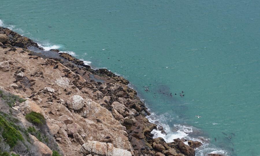 Robben im Robberg Nature Reserve an der Garden Route in Suedafrika