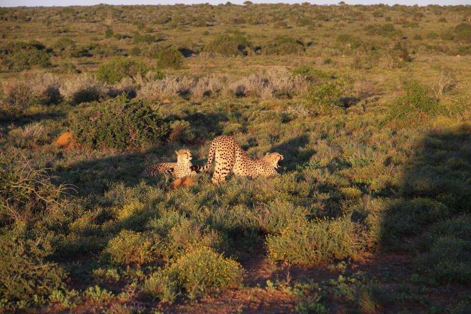 Geparden in der Abendsonne im Kwandwe Private Game Reserve in Suedafrika