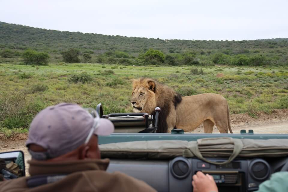 Ein Loewe direkt vor unserem Safari Fahrzeug im Kwandwe Game Reserve