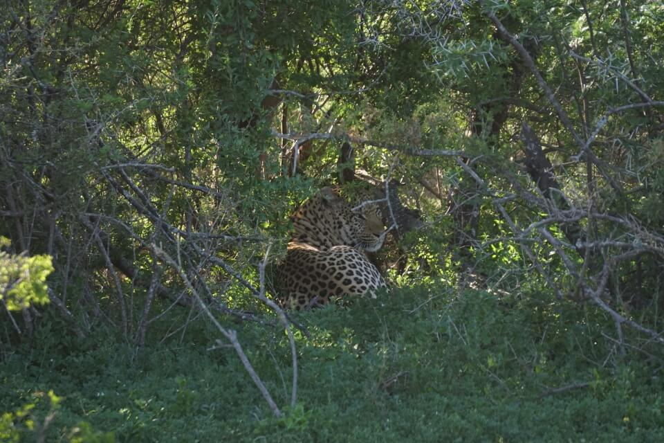 Ein Leopard versteckt sich im Gebuesch im Kwandwe Game Reserve