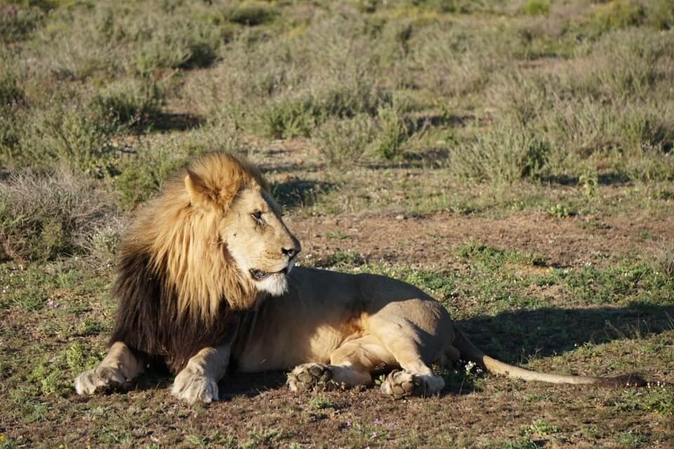 Ein Loewe im Kwandwe Private Game Reserve